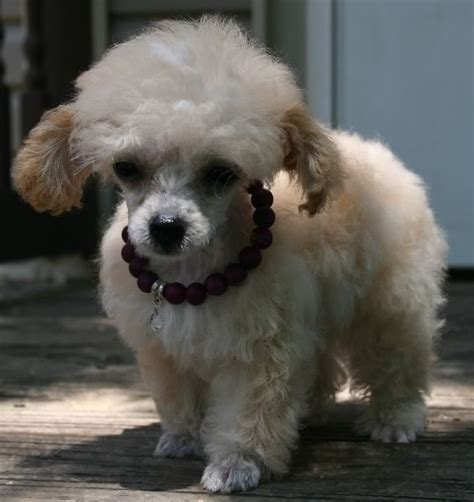 mini poodle grown tiny teacup poodle 10 weeks 19 oz 4 quot here she