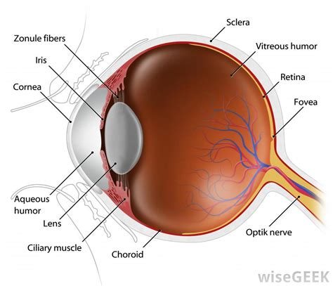 the eye diagram what are dilated pupils with pictures