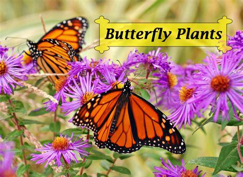 butterfly plants list butterfly flowers  host plant ideas