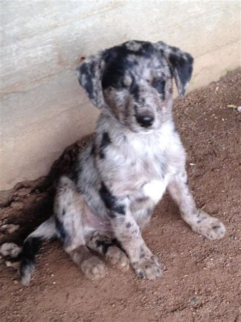 koolie puppies 232 best images about koolie on horses for sale australia and