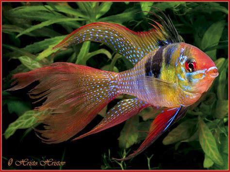 ram fish die besten 17 bilder zu fish auf buntbarsche