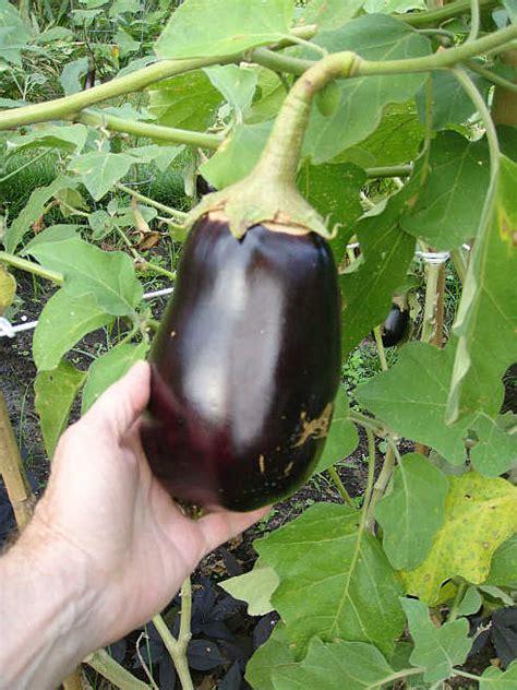 Gardening Eggplant Growing Eggplants Gardening