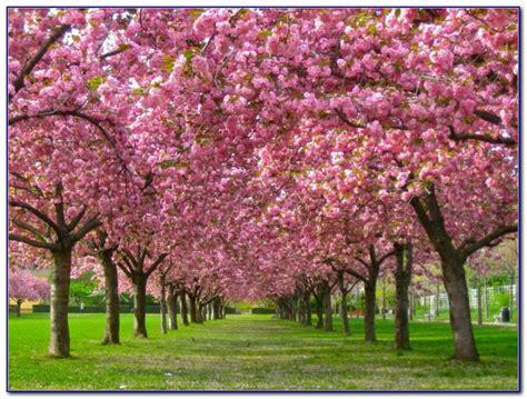 Brooklyn Botanical Garden Cherry Blossom Tickets Garden Cherry Blossom Botanical Garden