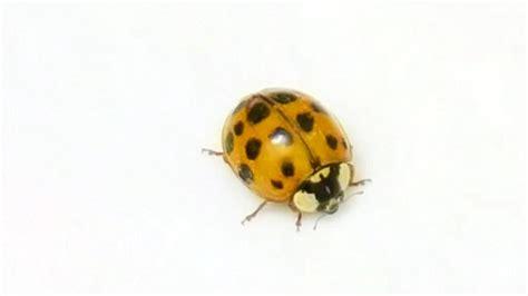 ladybugs in my bathroom ladybug