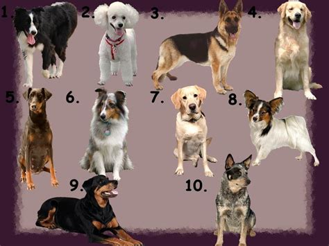smartest breed in the world top 10 smartest dogs in the world omg top tens list breeds picture