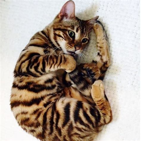 that looks like a tiger toyger cat that looks like a tiger blubabescreate