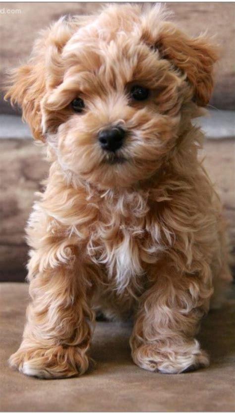 teddy breed best 25 teddy dogs ideas on teddy puppies dogs and teddy