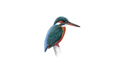 kingfisher bird facts alcedo atthis the rspb