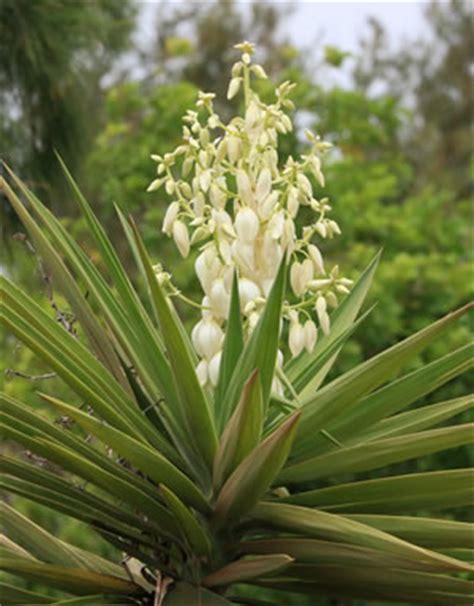 garten yucca braune flecken palmlilie garten yucca filamentosa pflege und schneiden