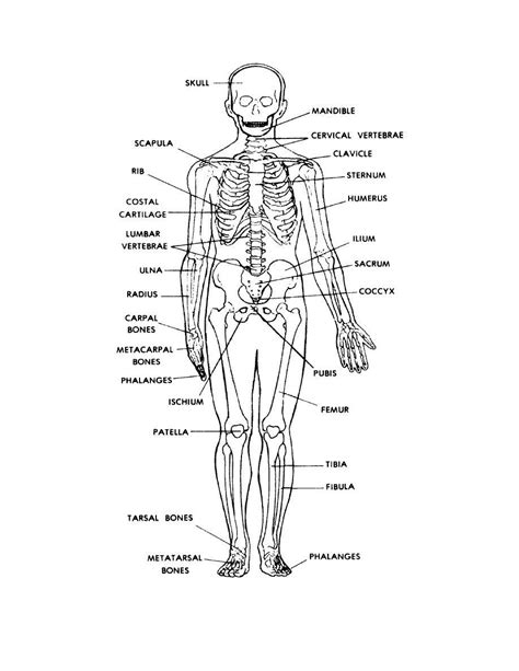 Beschriftung Skelett by Human Skeleton Labeled Back View Anatomy And Physiology