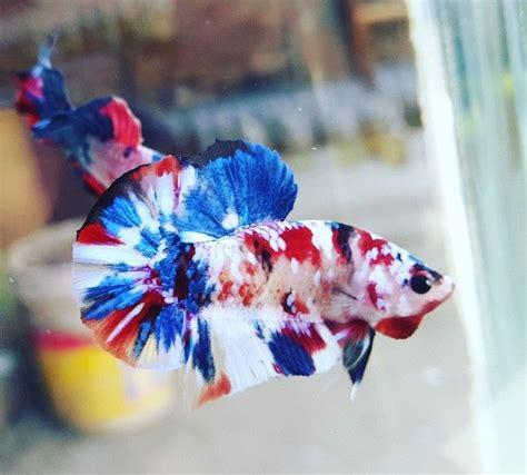 multicolor koi galaxy hmpk ikan cupang hewan ikan