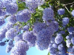 Arbuste A Fleurs Bleues