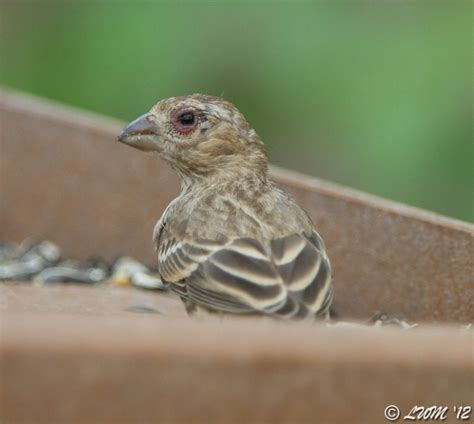 Eye Diseases Of House Finches Butterfly And Wildlife Gardening And Photography