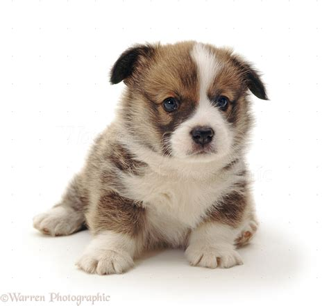 4 week puppy pembrokeshire corgi puppy 4 weeks photo wp34027