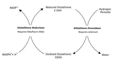 glutathione peroxidase
