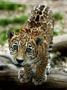 Jaguars Cubs Jaguar Cub Cat S Meow