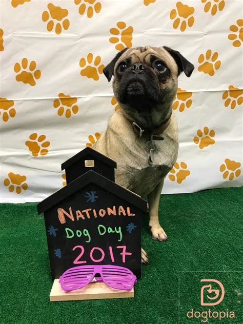 national pug day 2017 national day deserves day care utica