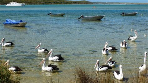 pelican boat pictures pelicans and boats picture of blackwood river