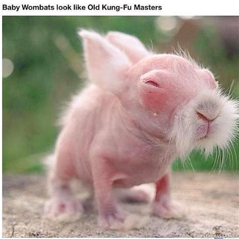 imagenes de animal wombat viikatemiehen kuvaketju sivu 139