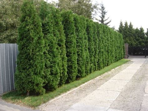 fast growing maple trees thuja gardens fast growing privacy hedge thuja smaragd vs white cedar