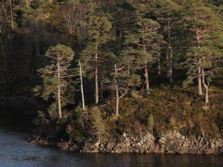 Trees For The Charity Thats Restoring The Caledonian Forest by Home Trees For