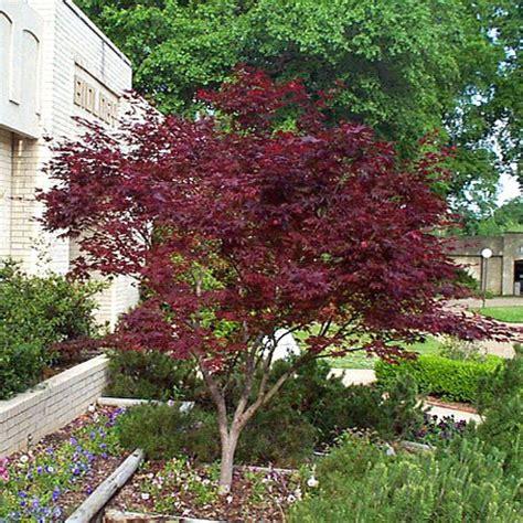 small purple tree greenman 187 archive 187 plants japanese maples