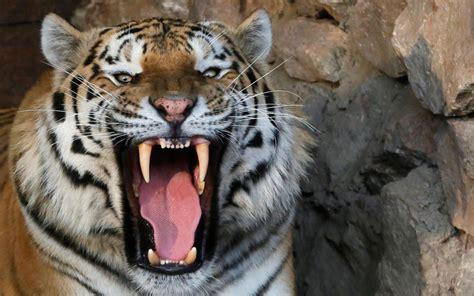 tigre persiana russie attaqu 233 e par un tigre la soigneuse d un zoo