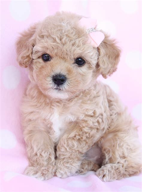 dogs for sale cumbria toy for dog toy for dog toy poodle puppy for sale litle pups