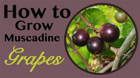 how to a grown how to grow muscadine grapes the survival gardener