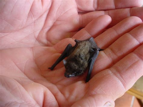 save nature save human kitti s hog nosed bat