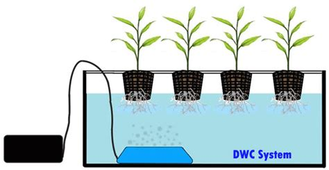 deep water culture  purest hydroponic system