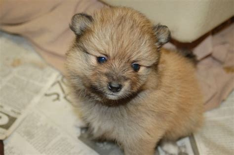 pomeranian mastiff mix pictures of different puppies breeders guide
