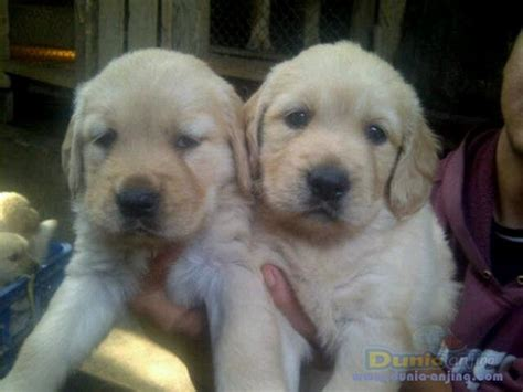 golden retriever big bone dunia anjing jual anjing golden retriever puppies golden jantan big bone