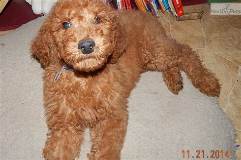 doodle indiana goldendoodle puppy for sale near south bend michiana