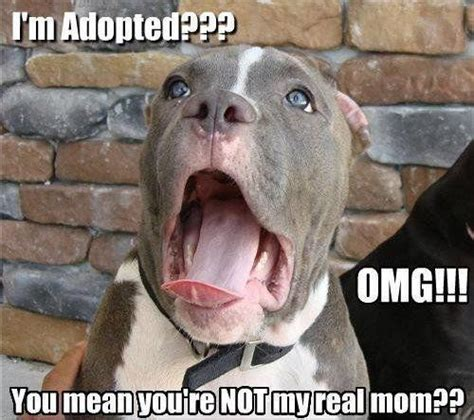 Pitbull Puppy Meme - cute pitbull meme google search pibbles pinterest