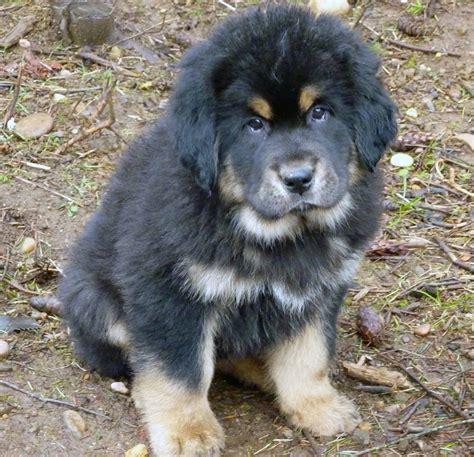 how much is a tibetan mastiff puppy tibetan mastiff all big breeds