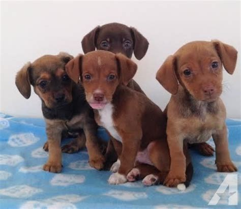 dachshund puppies ohio dachshund fox puppies for sale in ashtabula ohio classified americanlisted