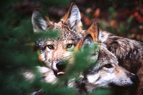 0008183848 war of the wolf inside idaho s war on wolves takepart