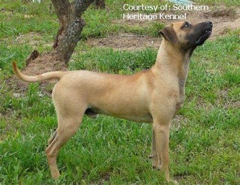 black cur puppies for sale in florida black cur pictures 6899ec45b4