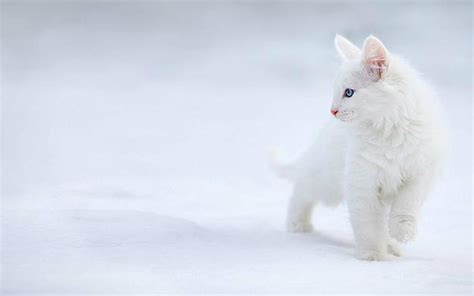 cute wallpaper hd 1080p cute white cats hd wallpapers beautiful pictures hd
