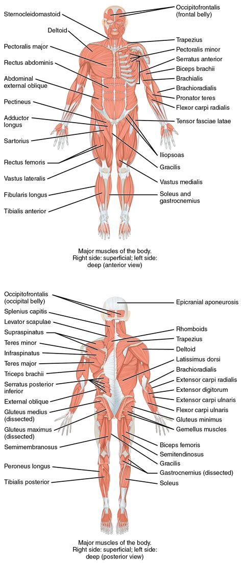 the body in the location of the major muscles in the human body location of major muscles in the human body
