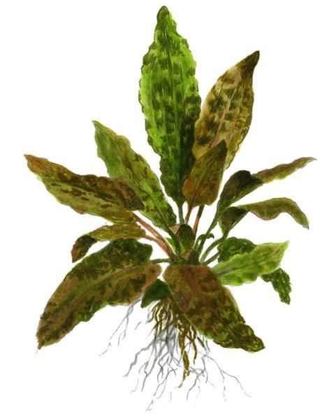 Cryptocorine Wenditi Tropica cryptocoryne wendtii tropica