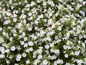 online plant guide petunia blanket white blanket