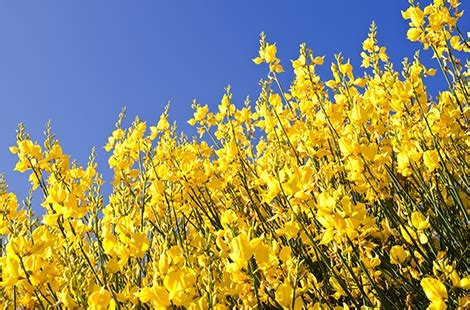 fiore di ginestra ginestra dei carbonai gaiavita it