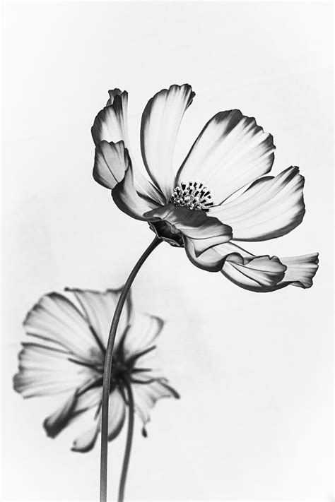 Ethereal image of Cosmos flowers wins photo competition