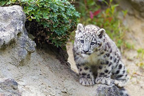 imagenes para fondo de pantalla leopardos fondos de pantalla grandes felinos cachorros leopardo de