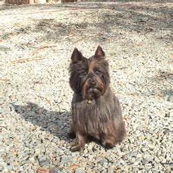 do cairn terriers get their hair cut or shaved lake anna pet grooming 17 photos pet groomers 12822