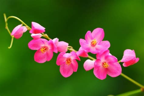 bunga air mata pengantin sebagai bunga rambat bibitbungacom