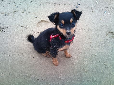 chihuahua mixed with rottweiler rottweiler chihuahua mix