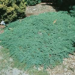 juniperus juniper